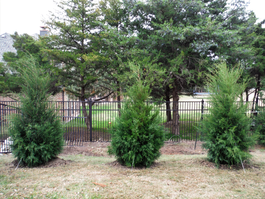 Beautiful evergreen Greenbelt Eastern Red Cedars planted in a row by Treeland Nursery.