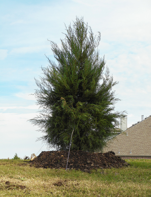 Greenbelt Eastern Red Cedar planted in a backyard for privacy by Treeland Nursery.