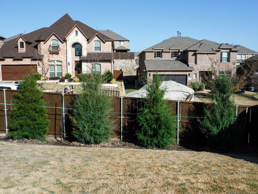 Eastern Red Cedars planted along a fence for privacy screening. Installed by Treeland Nursery.