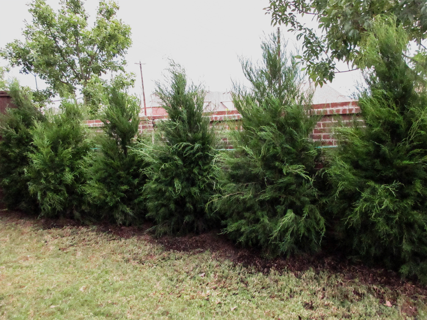 Evergreen Greenbelt Eastern Red Cedars planted for privacy by Treeland Nursery.