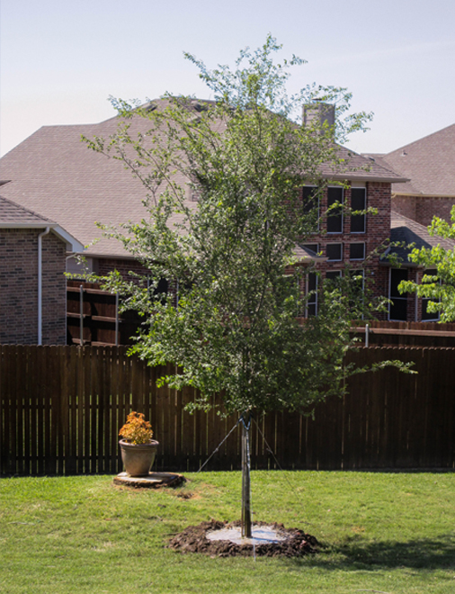 Lacebark Elm tree installed in a backyard by Treeland Nursery.