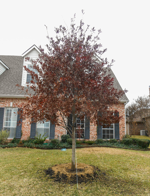 Red Oak tree with showy Fall color planted by Treeland Nursery.