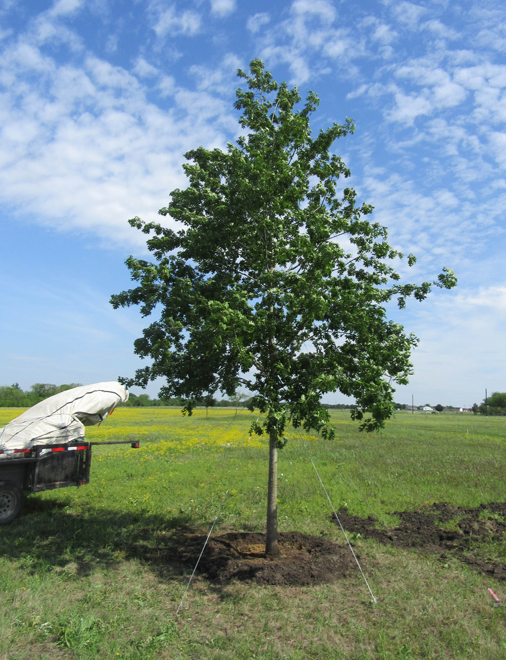 Red Oak planted in a large backyard by Treeland Nursery.
