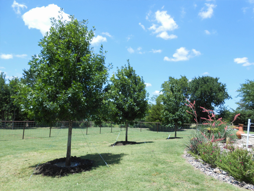 Several Red Oak trees planted by Treeland Nursery.