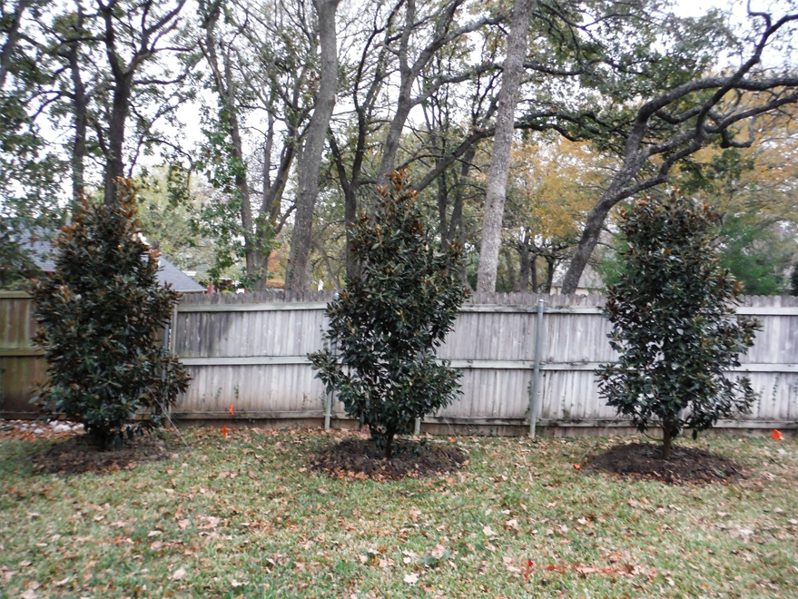 Large Little Gem Magnolias planted along a backyard fence for privacy screening and blocking an undesired fence. Installed by Treeland Nursery.