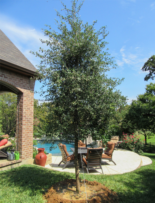 Large Live Oak Tree planted by a backyard patio for shade by Treeland Nursery.