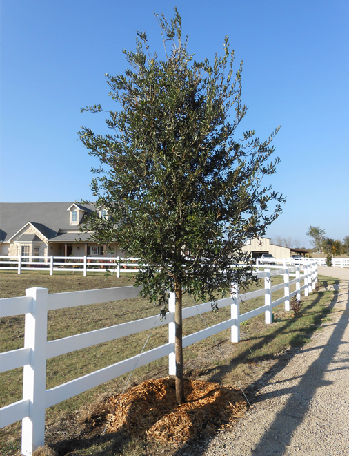 Live Oak Tree planted along a fence line by Treeland Nursery.