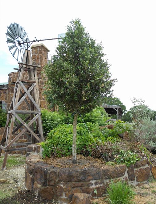 Live Oak Tree planted in a raised flowerbed by Treeland Nursery.