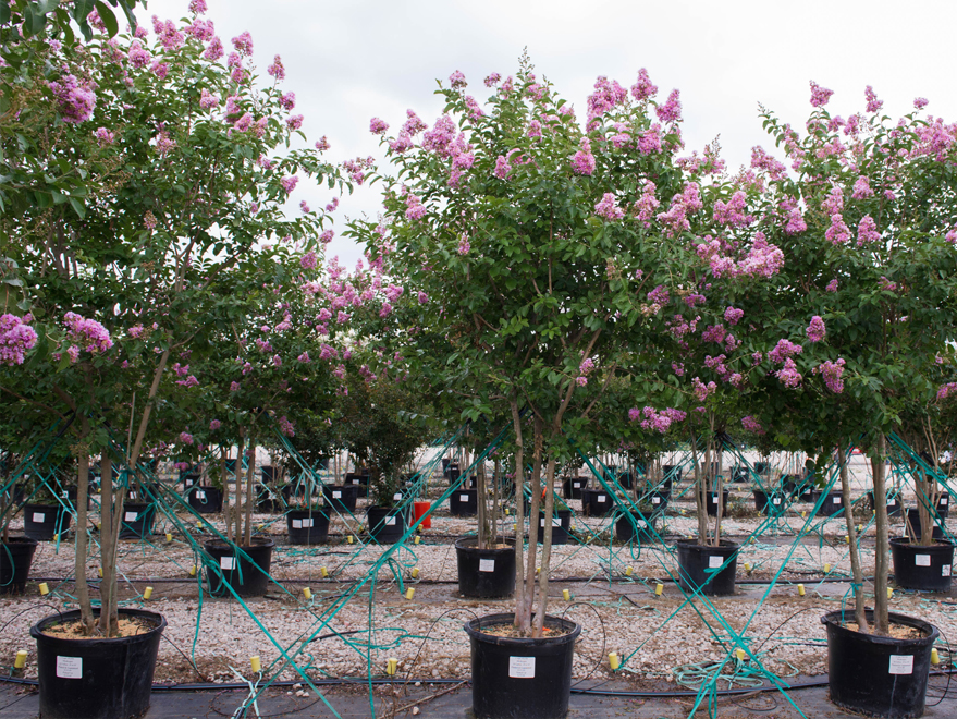 Muskogee Crape Myrtle rows located at Treeland Nursery in Gunter, Texas.