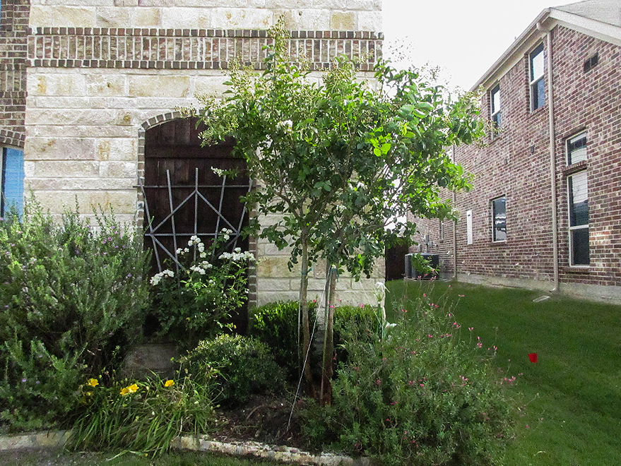 Natchez Crape Myrtle planted by Treeland Nursery.