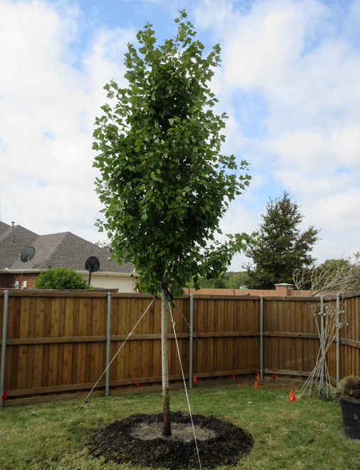 October Glory Maple tree installed in a backyard by Treeland Nursery.