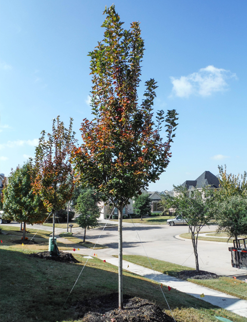 October Glory Maple planted in a frontyard by Treeland Nursery.