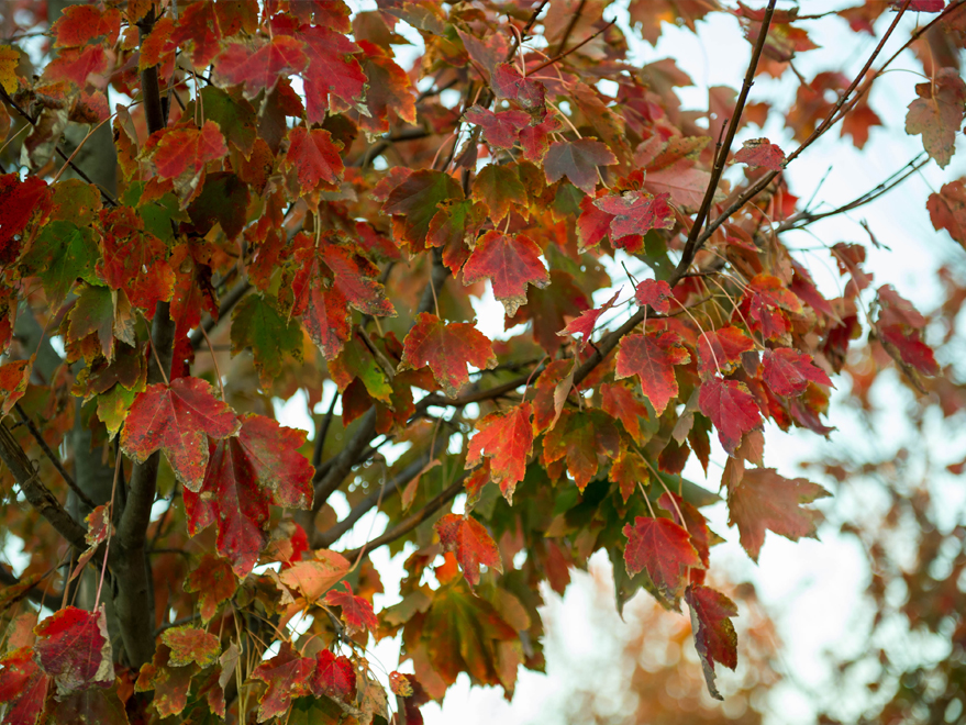October Glory Maple leaves with showy Fall color. Photographed by Treeland Nursery.
