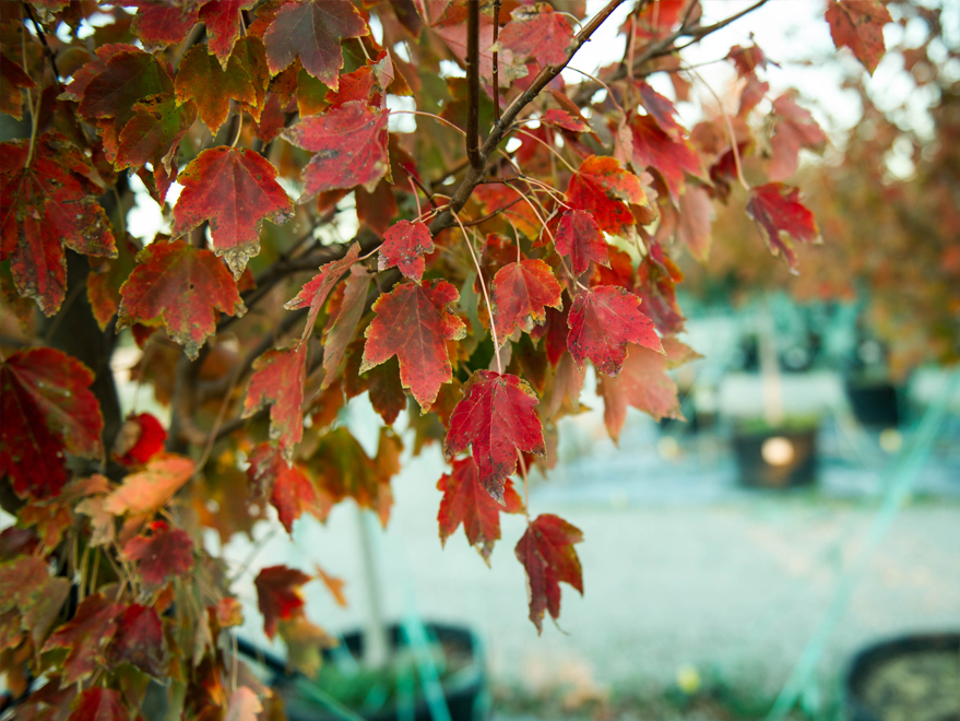 October Glory Maple leaves with Fall color. Photographed by Treeland Nursery.