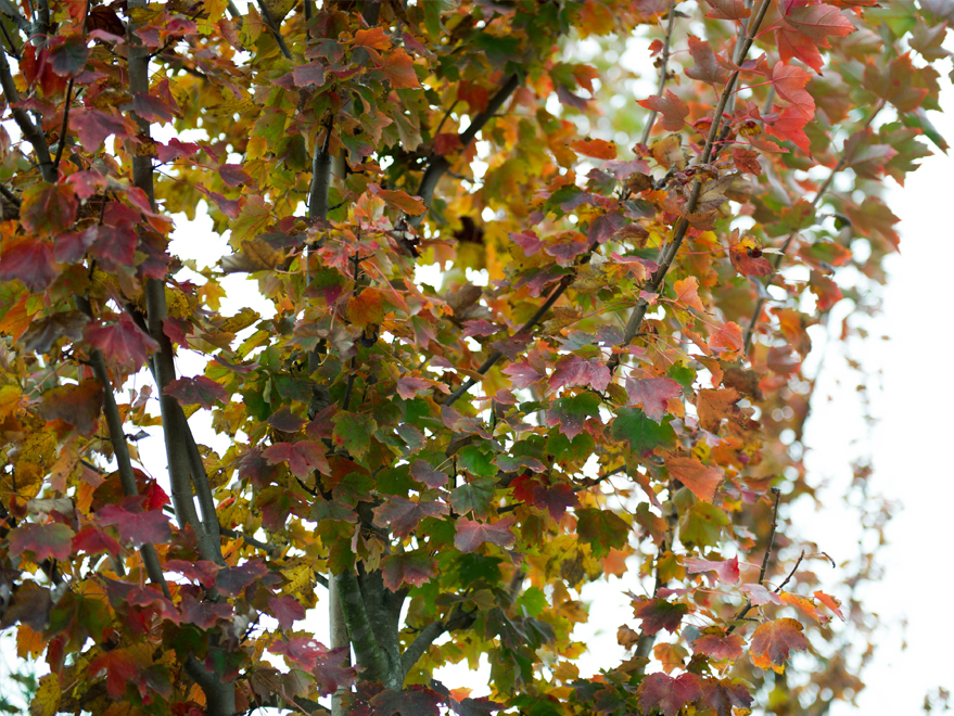 October Glory Maple leaves first starting to change colors in the Fall. Photographed by Treeland Nursery.