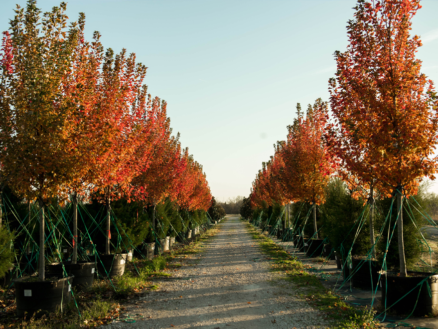 Rows of October Glory Maple trees with Fall Color at Treeland Nursery.