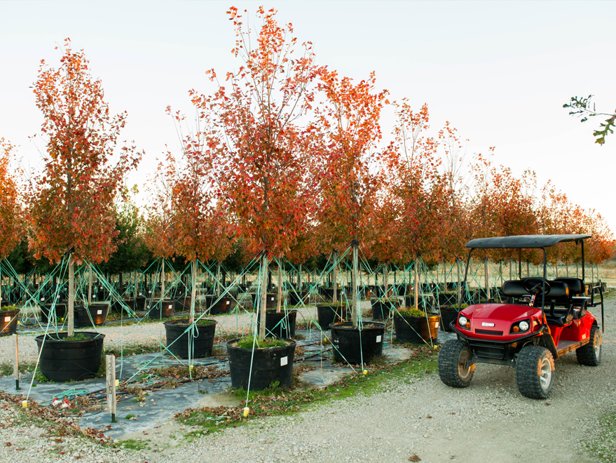 Showy October Glory Maple trees with Fall color at Treeland Nursery.