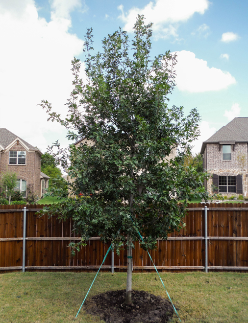 Stunning Red Oak tree planted in a backyard.