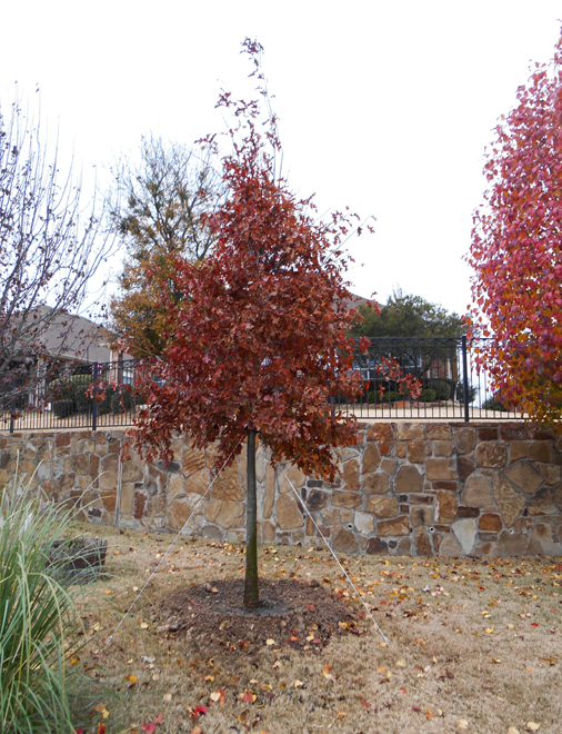 Red Oak tree planted in the Fall by Treeland Nursery.