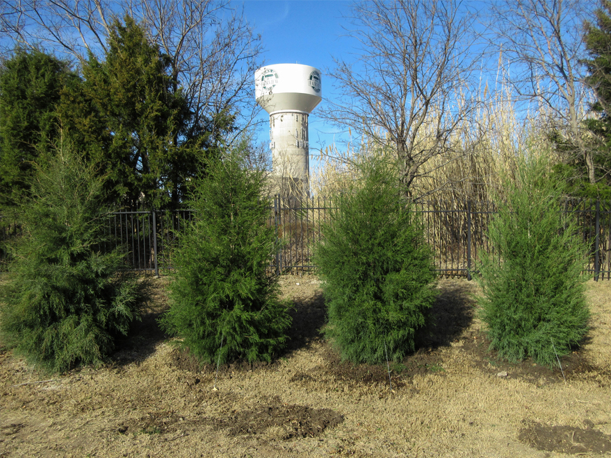 Eastern Red Cedars planted to block out a water tower. Installed by Treeland Nursery.