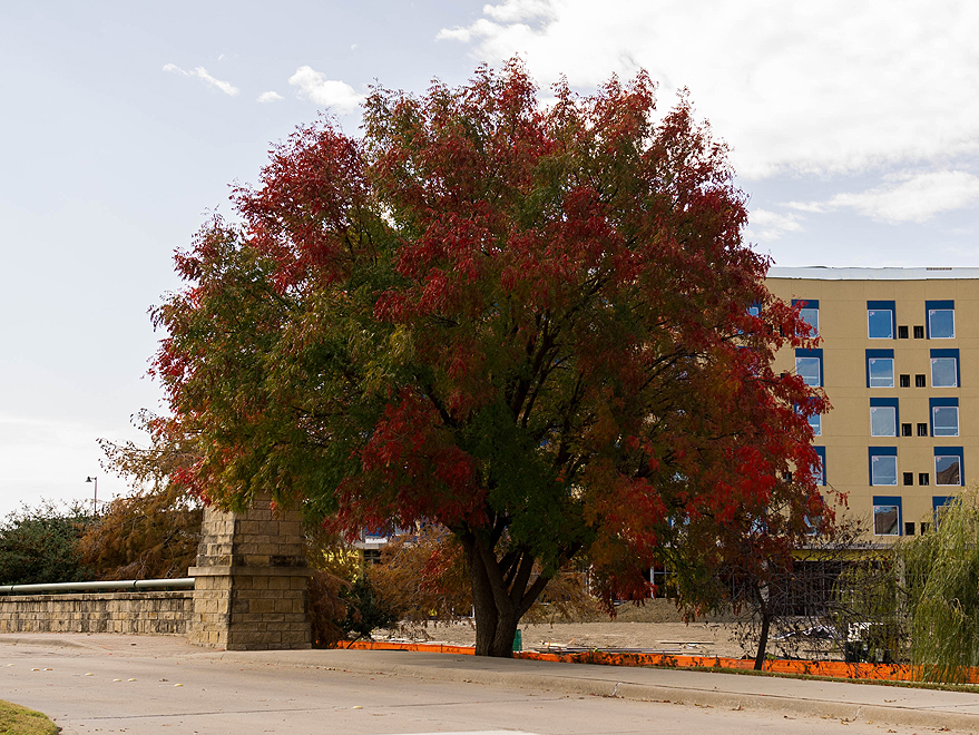 Maturing Chinese Pistachio tree with Fall color photographed in Frisco, Texas by Treeland Nursery.
