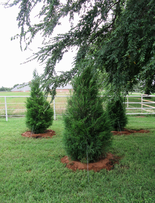 Eastern Red Cedars planted by Treeland Nursery.