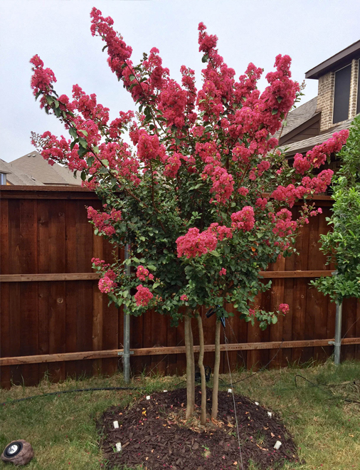 Tuscarora Crape Myrtle in full bloom. Installed by Treeland Nursery.