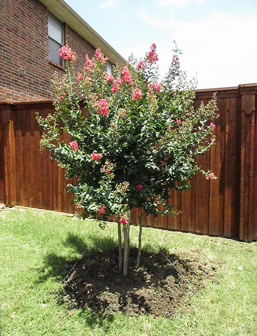 Tuscarora Crape Myrtle installed in a backyard by Treeland Nursery.