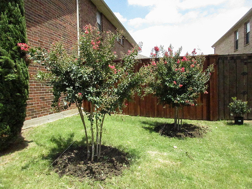 Tuscarora Crape Myrtles installed in a backyard by Treeland Nursery.