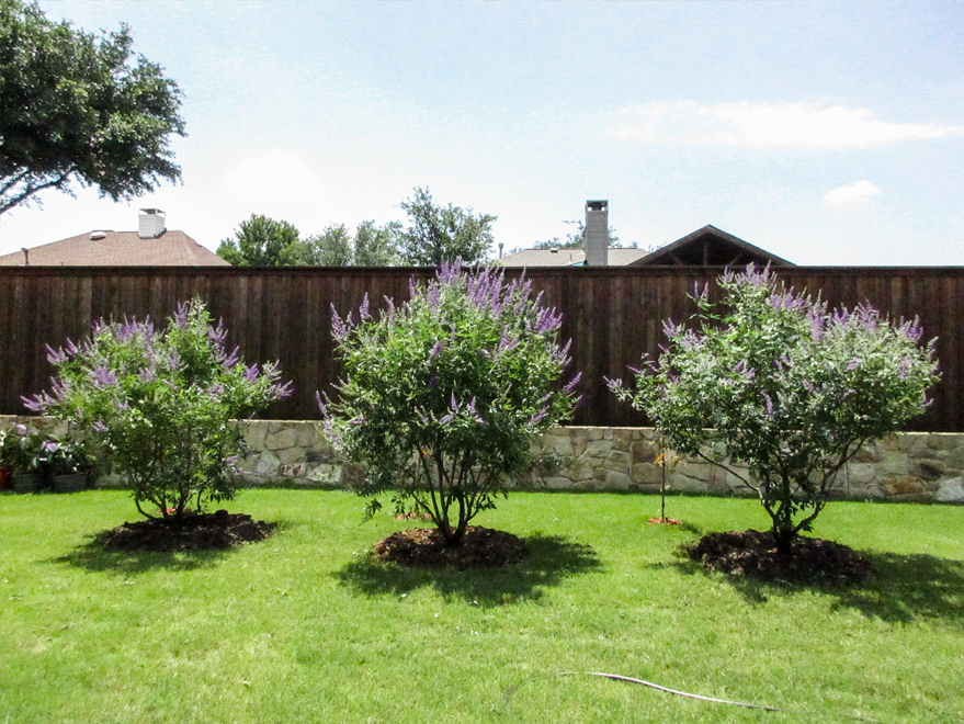 Grouping of three Vitex trees planted by Treeland Nursery.