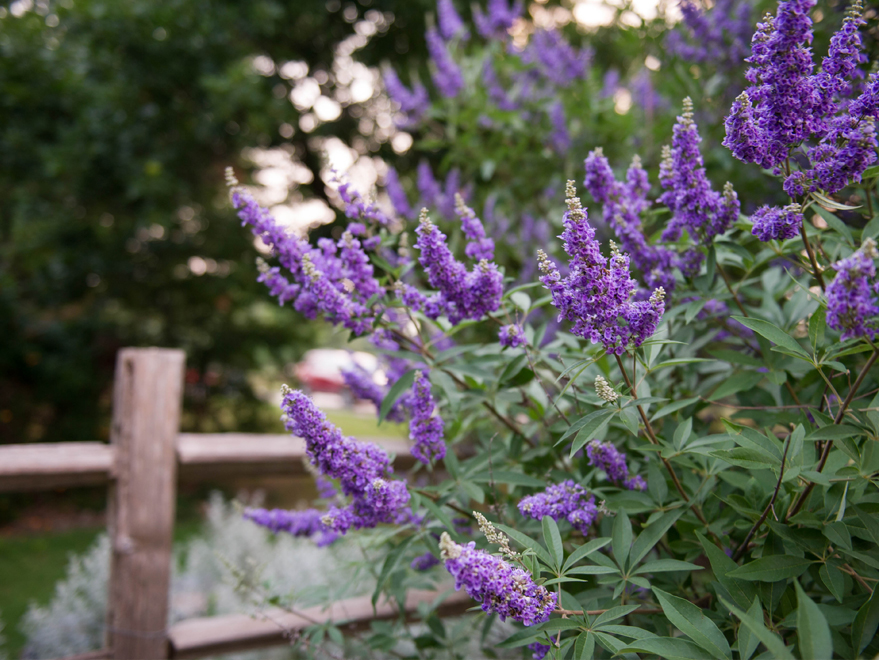 Blooming Vitex