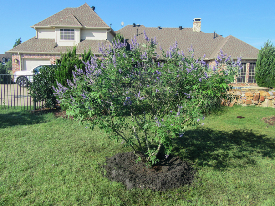 Blooming Vitex tree planted by Treeland Nursery.