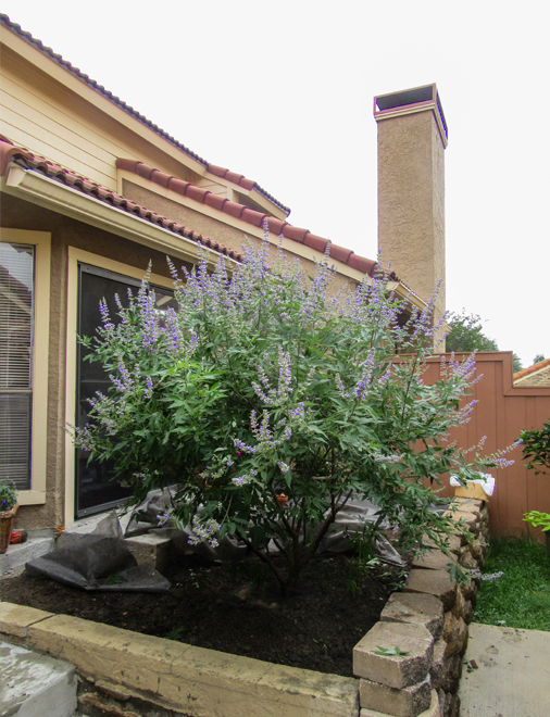 Vitex 'Shoal Creek' tree planted in a raised flowerbed by Treeland Nursery.