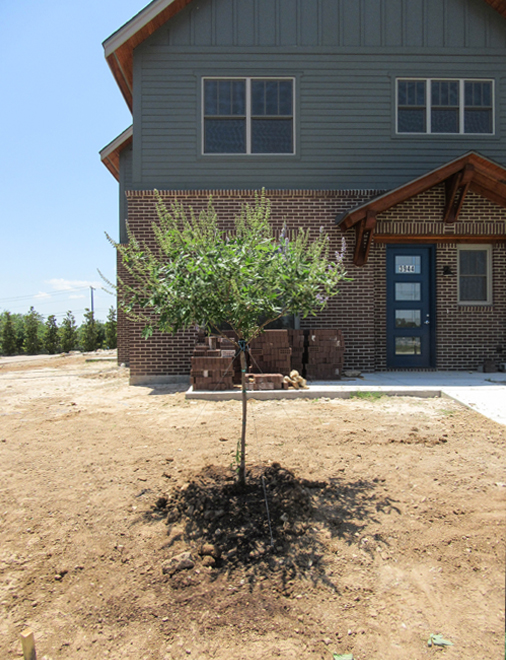Single trunk Vitex tree planted in a frontyard by Treeland Nursery.