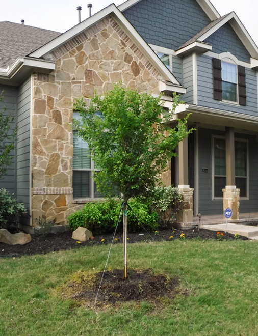 Cedar Elm tree planted in a frontyard by Treeland Nursery.