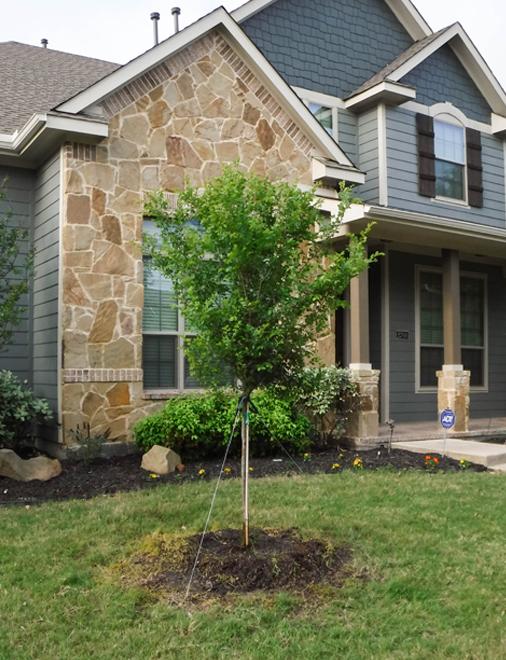Cedar Elm tree planted in a frontyard by Treeland Nursery.