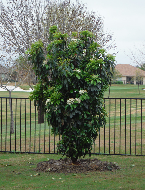 Chinese Photenia 'Green Giant' planted in a backyard by Treeland Nursery.