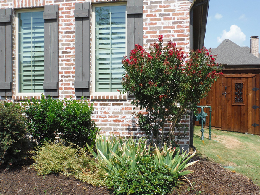 Dynamite Crape Myrtle planted in a frontyard flowerbed. Installed by Treeland Nursery.