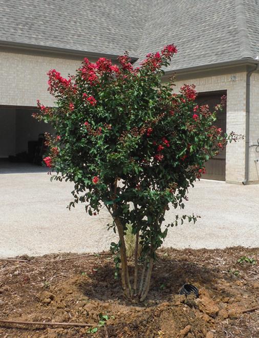 Dynamite Crape Myrtle planted along a driveway.