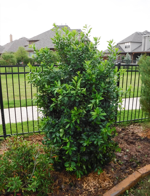 Full to the ground Eagleston Holly tree planted along a wrought iron fence.