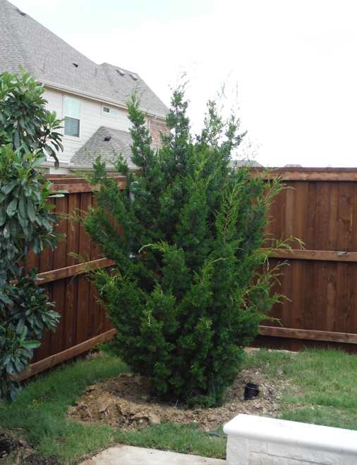 Eastern Red Cedar 'Brodie' planed in the corner of a backyard by Treeland Nursery.