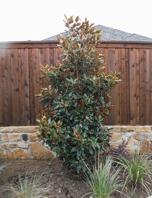 Little Gem Magnolia tree planted in a backyard along a fence. Installed by Treeland Nursery.