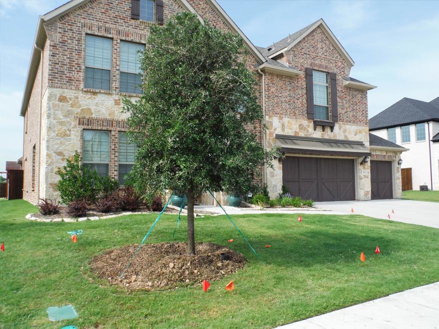 Live Oak tree planted in a frontyard by Treeland Nursery.