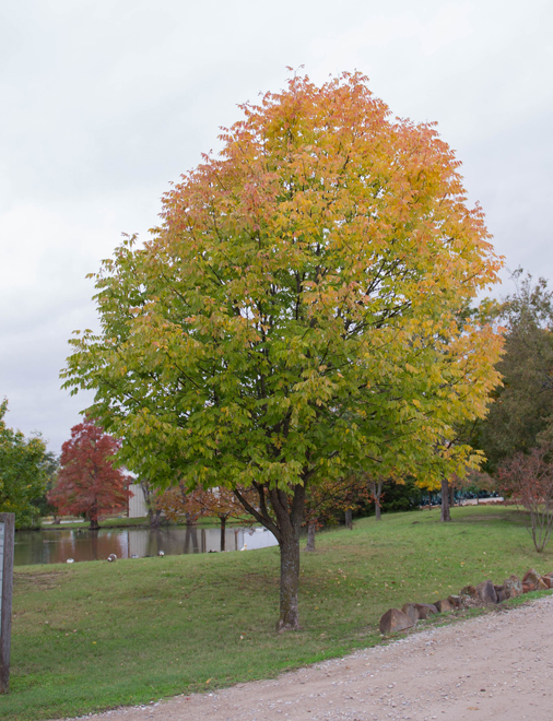 Maturing Ash Tree starting to show it's Fall color. Tree planted at Treeland Nursery.