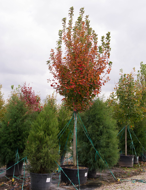 October Glory Maple in the  Fall at Treeland Nursery.