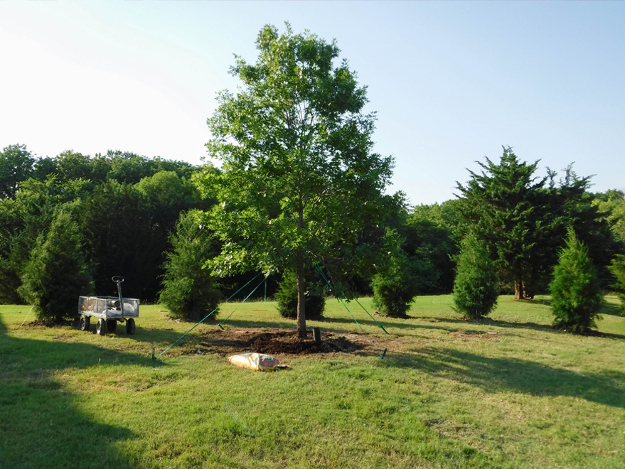 Red Oak tree planted with a cedar privacy screen.
