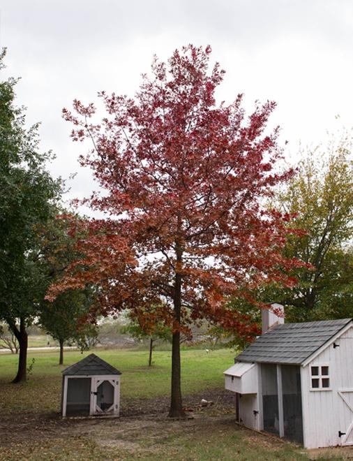 Maturing Red Oak tree planted at Treeland Nursery.