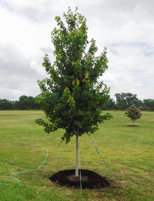 Dallas Sales Tax >> October Glory Maple Tree - Dallas, Texas - Treeland Nursery
