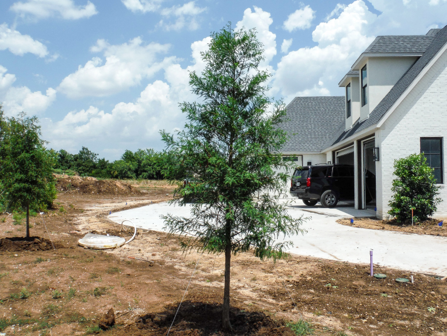 Bald Cypress tree planted along a driveway by Treeland Nursery.