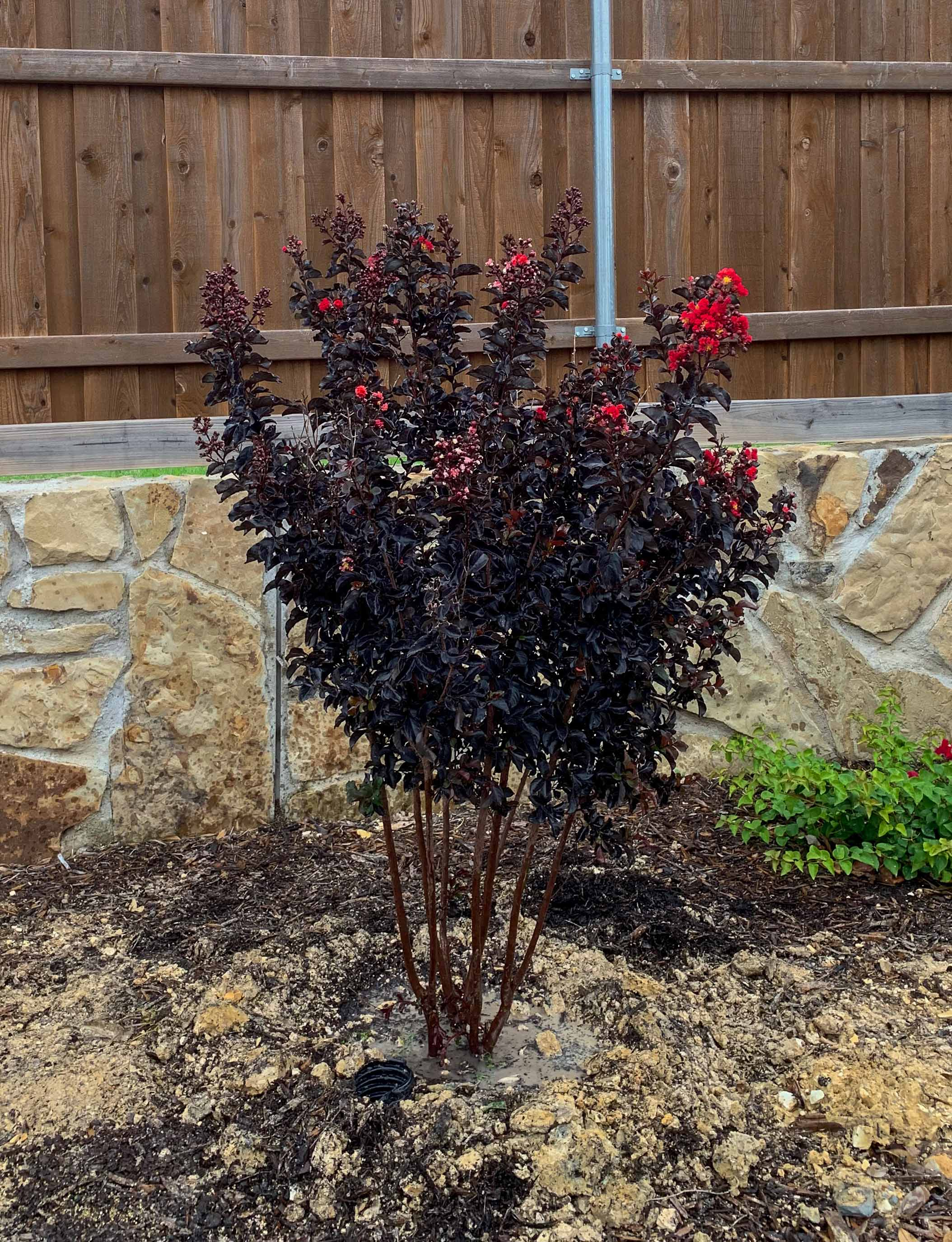 Black Diamond Crape Myrtle Dallas, TX.